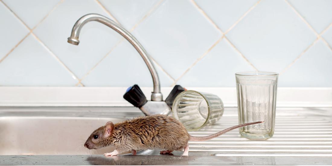 老鼠跑过厨房柜台
